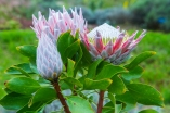 MAUI - King Protea flowers in various stages of bloom at the Ali'i Lavender Farm