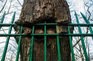 BROOKLYN - February 3, 2017: a tree grows around the fence at Holycross Cemetery in Flatbush.