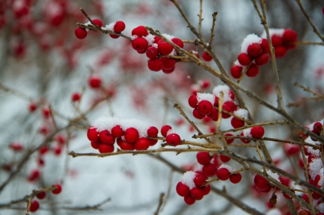 Snowfall on winterberries in Prospect Park.